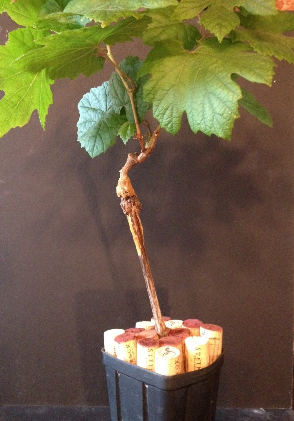 Grafted grapevine