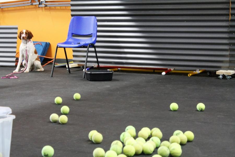 spaniel with tennis balls