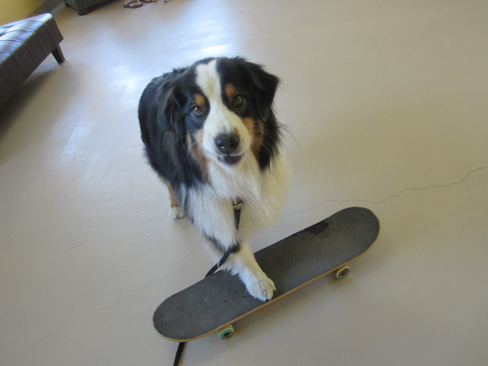 border collie on skate board