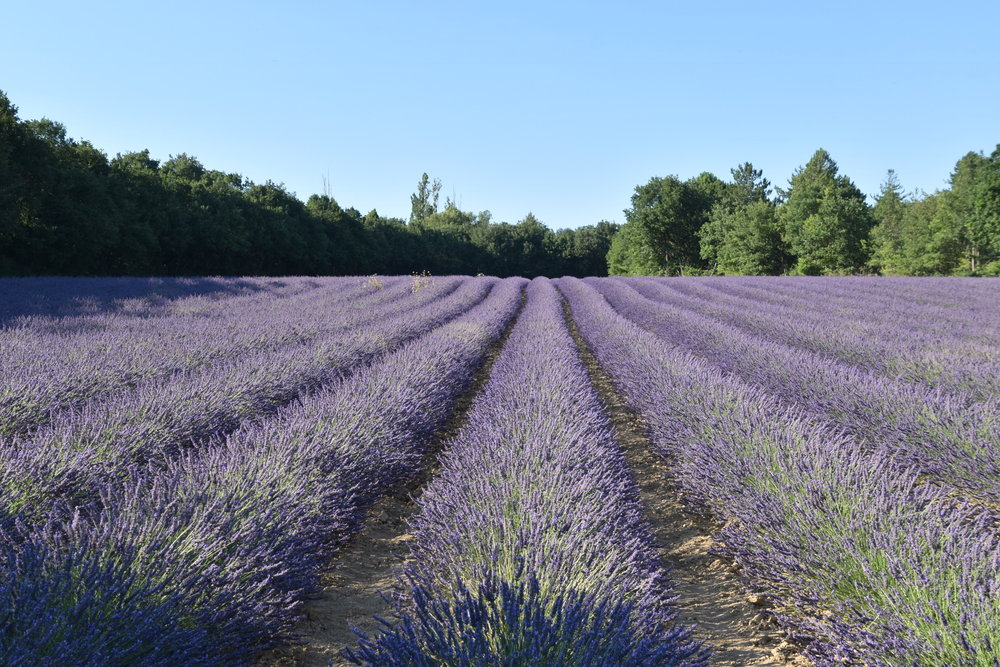 lavender fields of Valensole Plateau