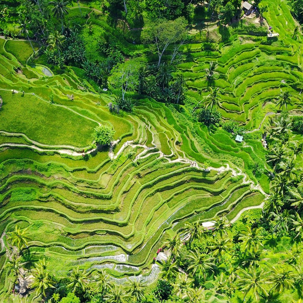 the rice terraces of Tegalalang