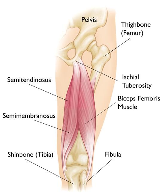 Hamstring Complex Anatomy