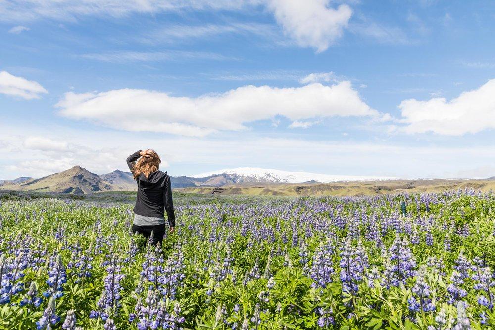 Lupin field in front of Eyjafjallajökull volcano