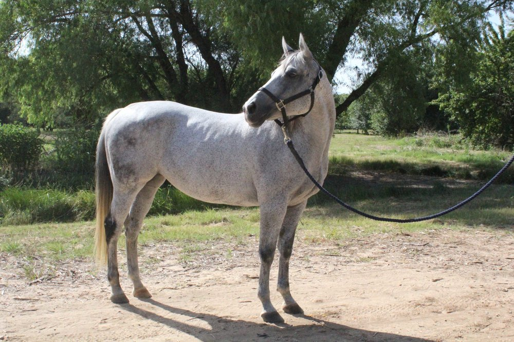 Equest Therapy Horse Tez is an Arabian/Thoroughbred Cross