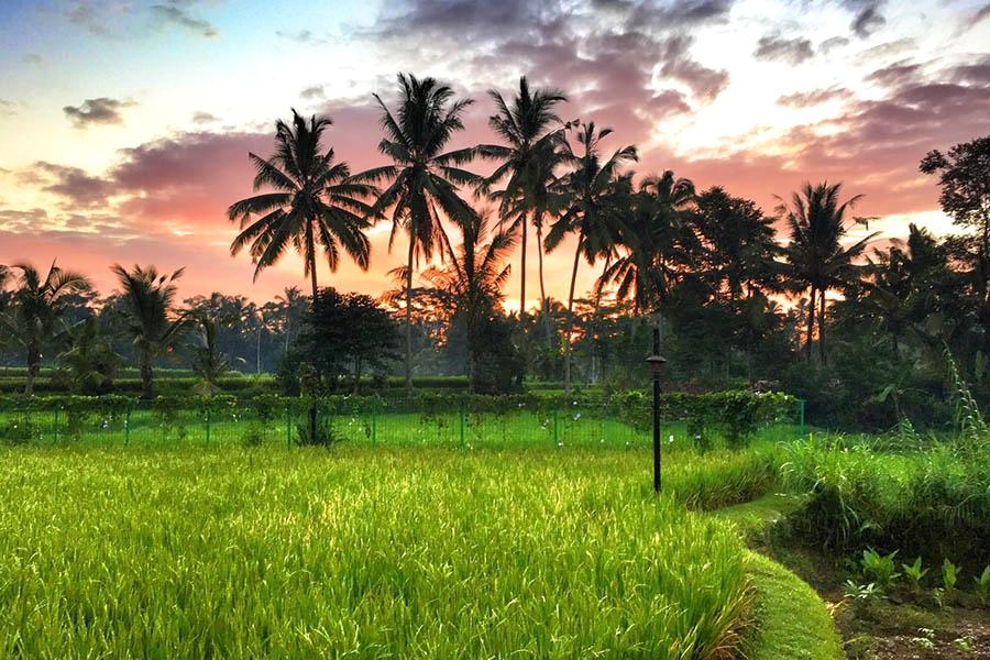 Sunrise Over Rice Paddy Fields