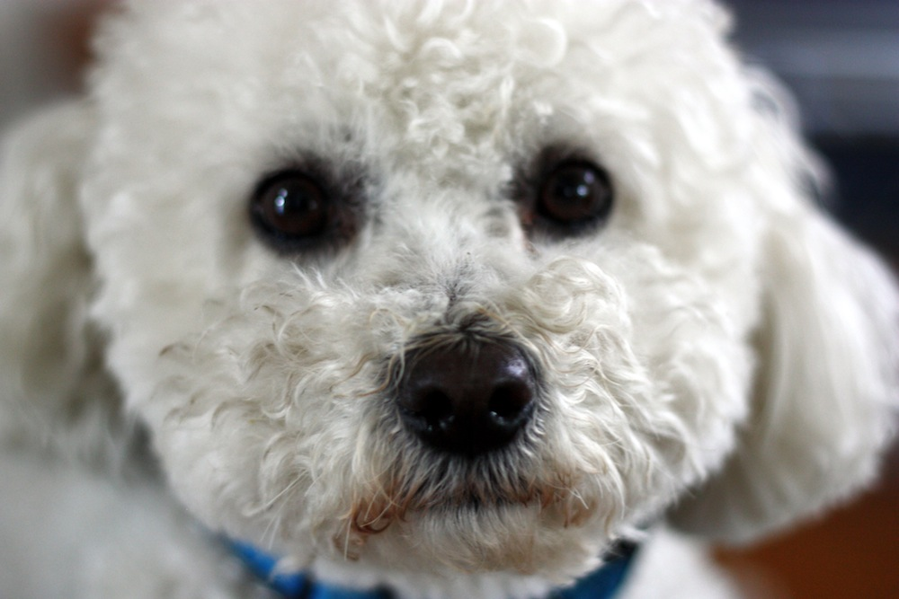 Rascal the bichon