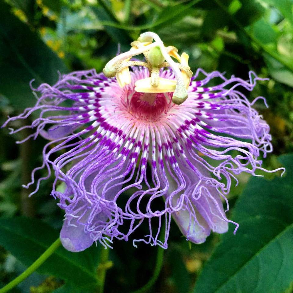 Passionflower (Passiflora incarnata) supports a restful sleep...