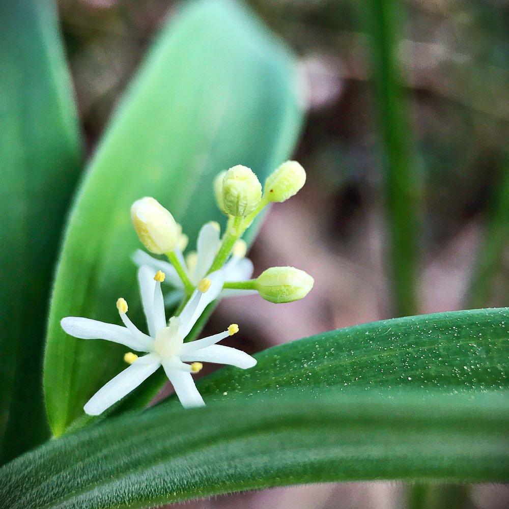 maianthemum1.JPG