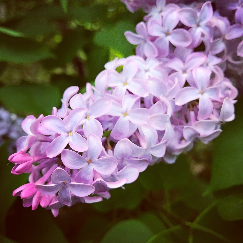 lilac1.JPG