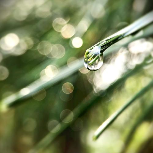 Raindrops on White Pine ( Pinus strobus) needles. Photo: Erika Galentin