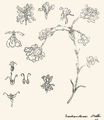 """Goethe's carnation: """"Seeing no way to preserve this marvelous form, I attempted an exact drawing of it, whereby I deepened my insight into the fundamental concept of metamorphosis."""" — Goethe Source:  Journal of Natural Science Illustration"""