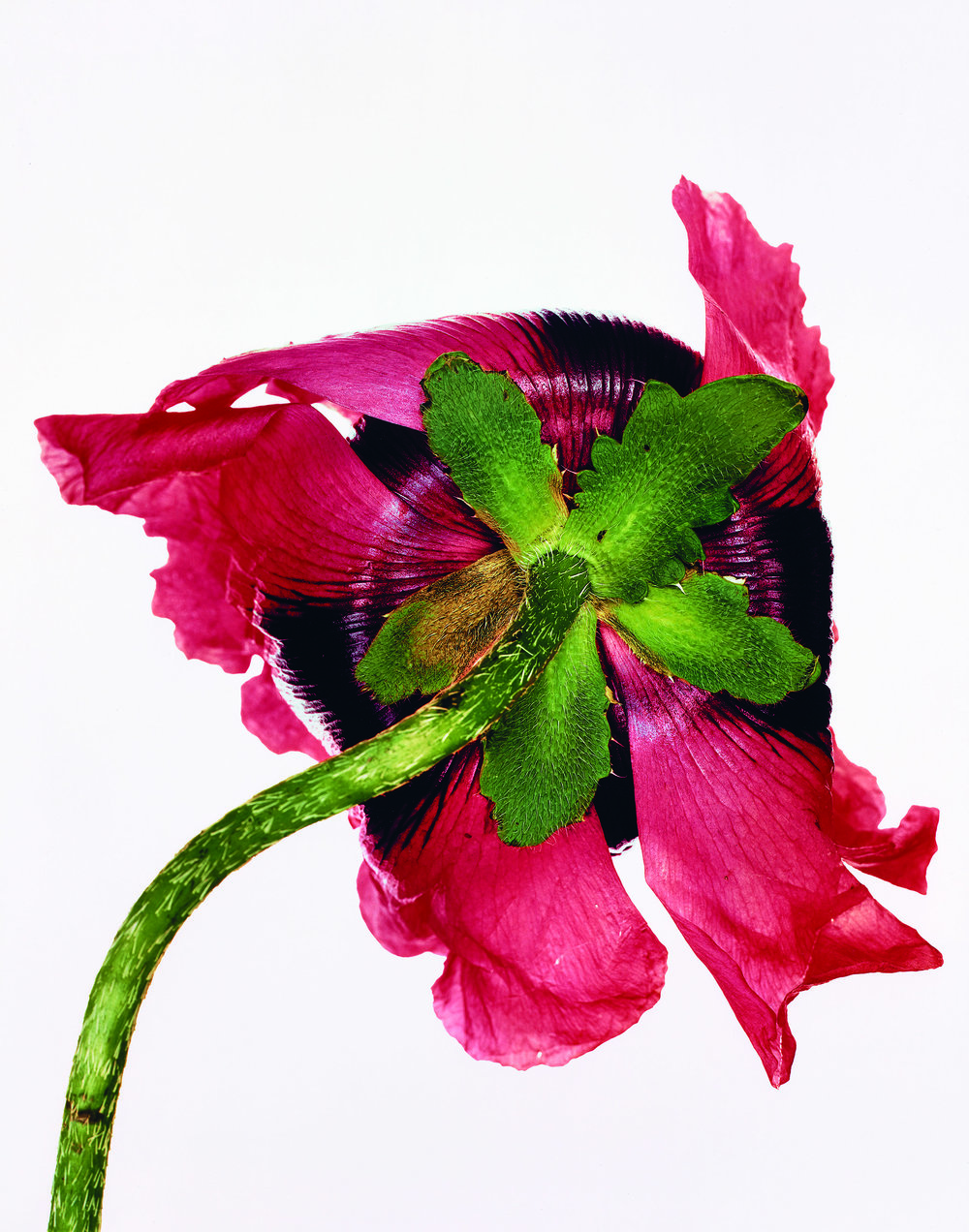 Irving Penn (American, 1917–2009)     Single Oriental Poppy , New York, 1968    Dye transfer print, 1987   16 ⅞ × 21 ⅛ in. (42.9 × 53.7 cm)   The Metropolitan Museum of Art, New York   Promised Gift of The Irving Penn Foundation   © The Irving Penn Foundation