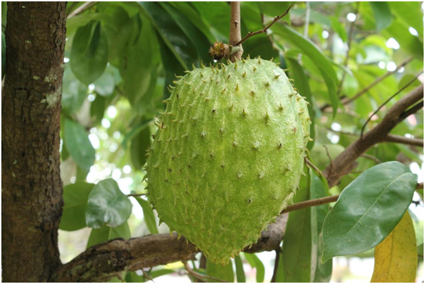 Soursop cancer Prevention.png