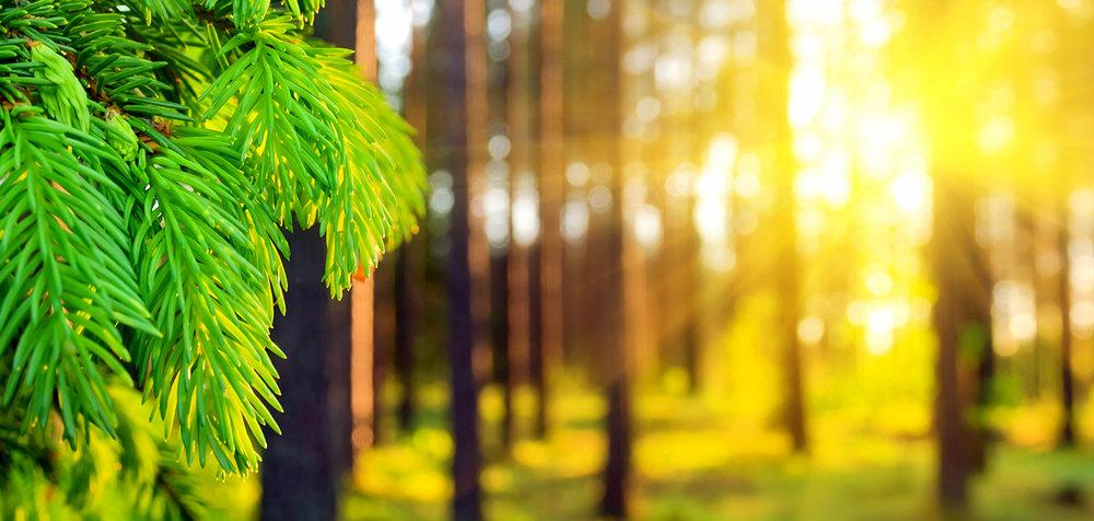 Nordora_Boreal-Forest_Sunlight.jpg