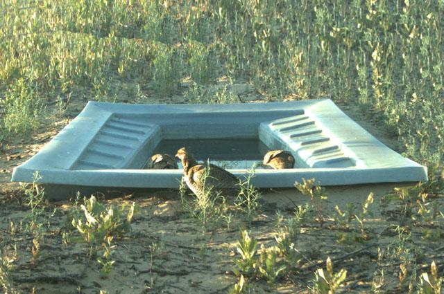 Full Ramp Guzzler with Prairie-Chicken