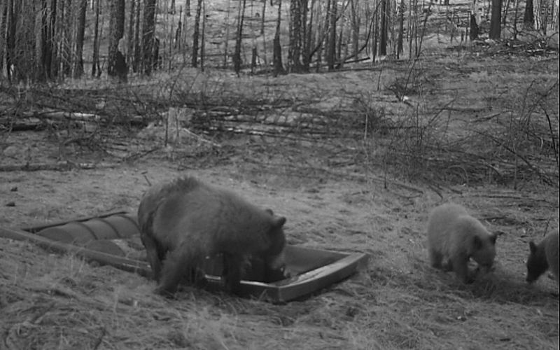 Bears at Dome Top 500 Guzzler in Plumas NF