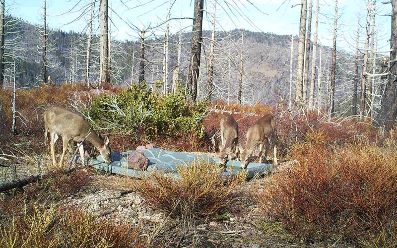 Deer-Plumas-Gallery.jpg