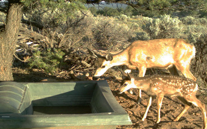 Doe and Fawn at Dome Top 500 Guzzler
