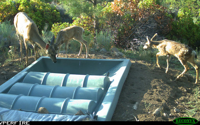 Deer Drinking From Guzzler Portola CA