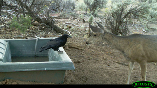 Crow and Deer at Water Guzzler