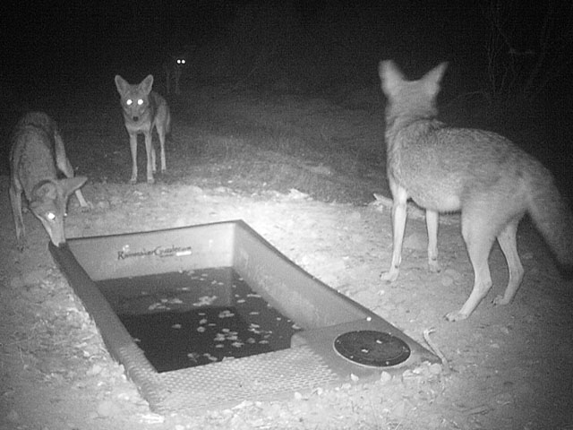 Coyotes at Night From Wildlife Drinker
