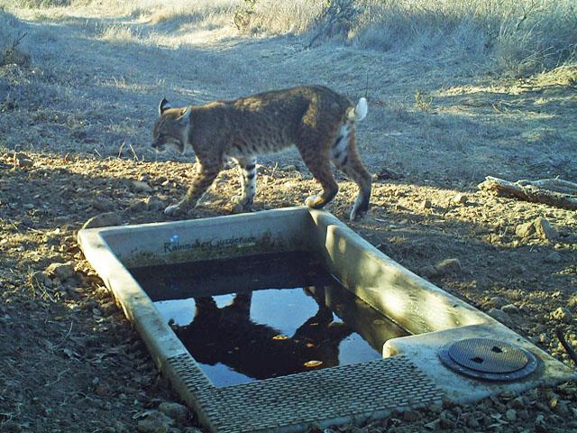 SP-Elkhorn Bobcat.jpg