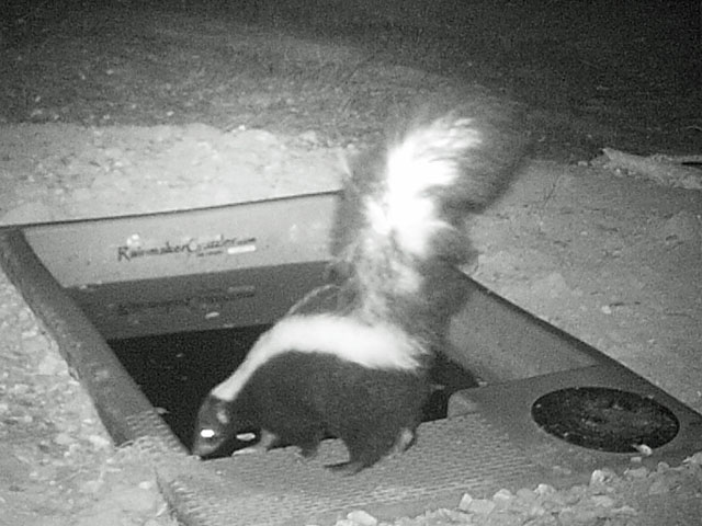 Skunk at Wildlife Water Drinker