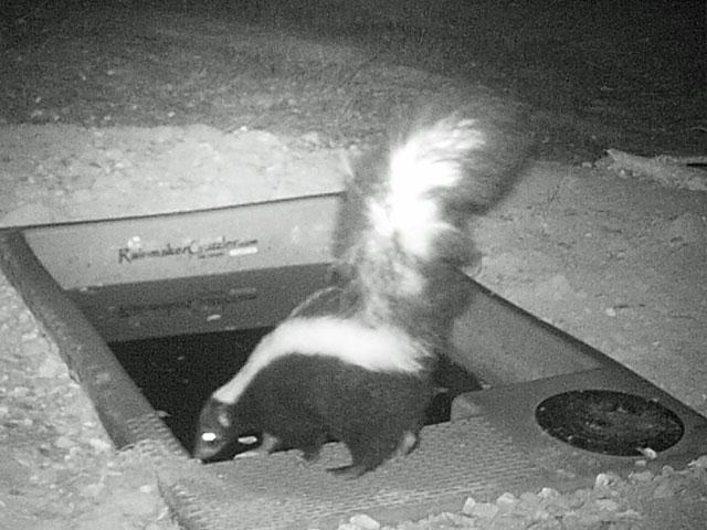 SP-Elkhorn Skunk.jpg