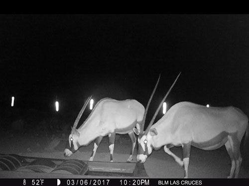 Oryx Drinking from DT-500 Wildlife Water Guzzler