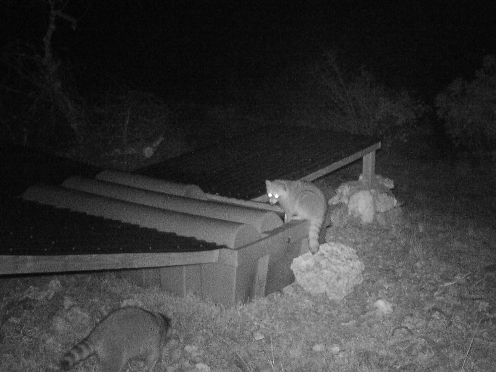 Raccoons Drinking at Night From A Guzzler