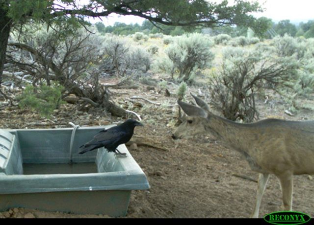 Neighbors catching up at the local water hole in Utah.  #huntersforconservation #savethewildlifesavethehunt #waterforwildlife #huntersforconservation #thewildlifebiologist #wildlifebiologist #wildlifebiology #wildlifereserve #wildlifepreservation  #desertwildlife #wildlifetechnician #waterguzzlers #waterguzzler #wildlifeguzzler  #wildlifewater #wildgame #wildlifebiologist