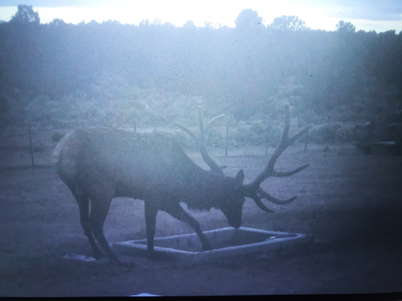 Bull Elk At Wildlife Water Drinker Arizona