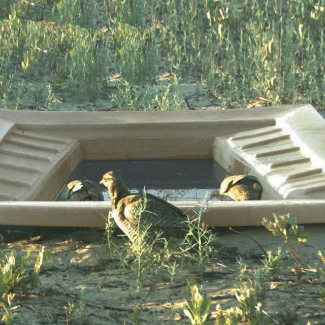Clint W. Boal, Texas Cooperative Fish and Wildlife Research Unit, Texas Tech University have spent years studying the Lesser Prairie-Chicken.  Recently they compared the use of various man-made water sources.  https://static1.squarespace.com/static/58a39aa7db29d6f758c081e1/t/58f795271b10e3798cc367e1/1492620586539/Lesser-Prairie-Chicken-Report.pdf  #texasparkswildlife #publiclandowners #texaswildlifeassociation #waterguzzlers #waterguzzler #wildlifeguzzler  #wildlifewater #wildgame #wildlifebiologist  #waterforwildlife #pheasanthunting #uplandbird #quailhunting #waterforwildlife #pheasantshoot #pheasanthunt #pheasanthunting #uplandbird #pheasantforever #birdhunting #uplandhunting #uplandgame #uplandbirdhunting #quailforever #quailhunting