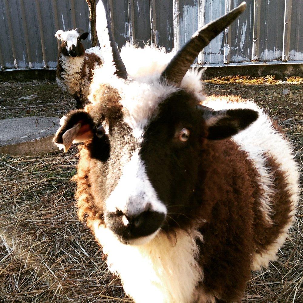 Clover: Our 4 horned ewe