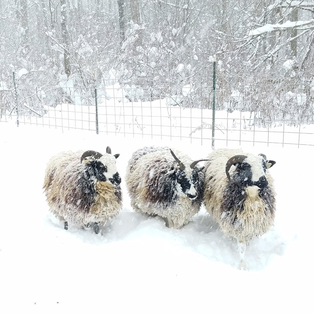 Dolly, clover, and abednego Out in the snow