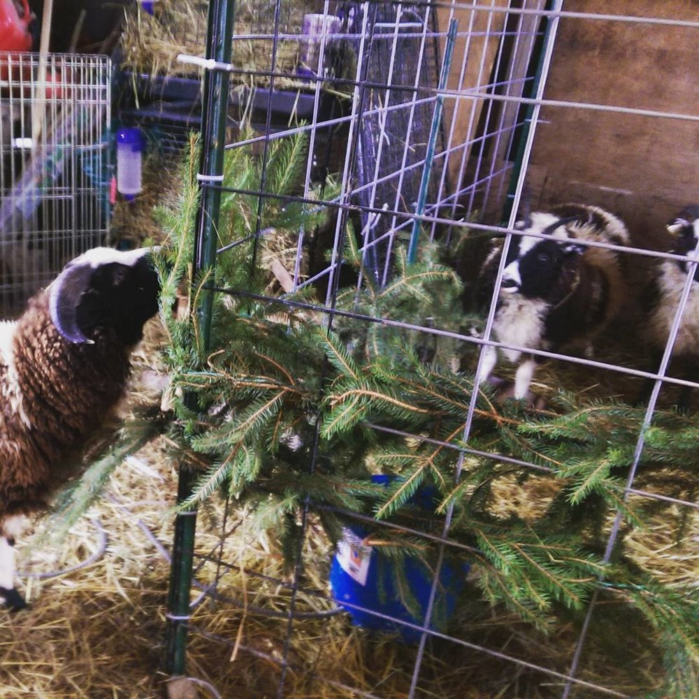 The sheep enjoying the Christmas greenery after the holidays were over.