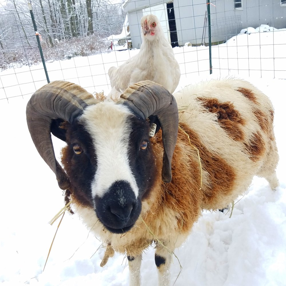 Our ram flynn with his winter passenger.