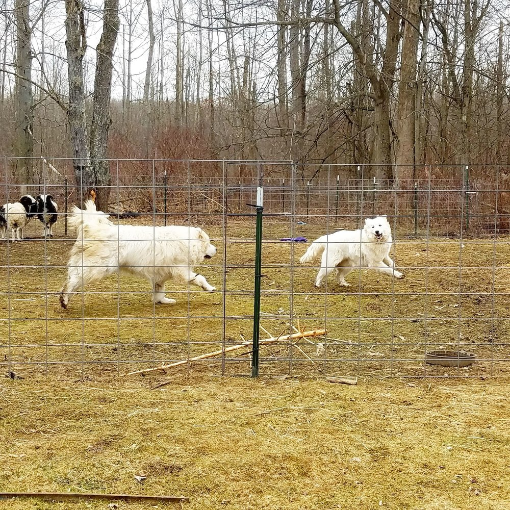 Livestock Guardians Lou and Skye having a frolic