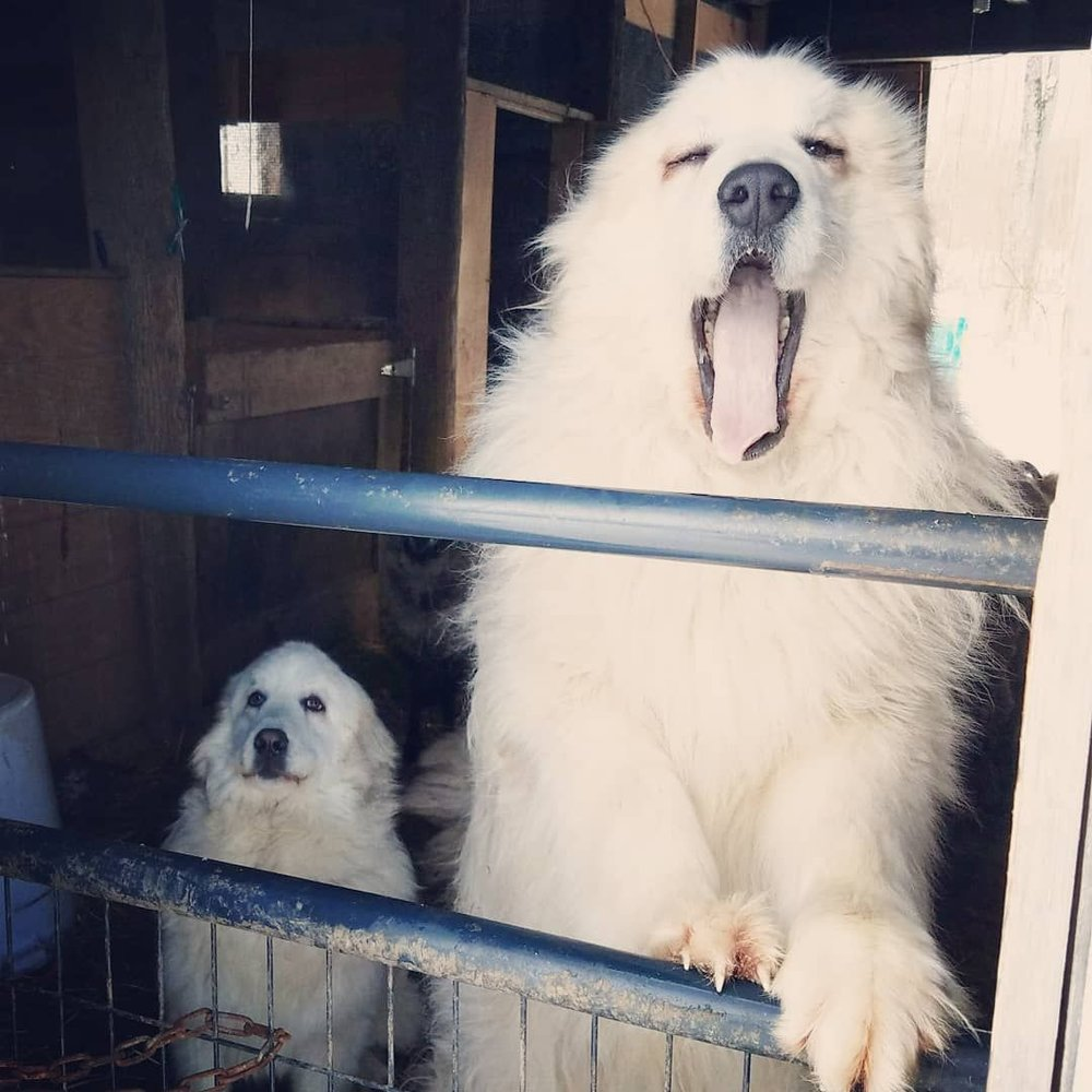 Skye and Lou, the livestock guardian dogs