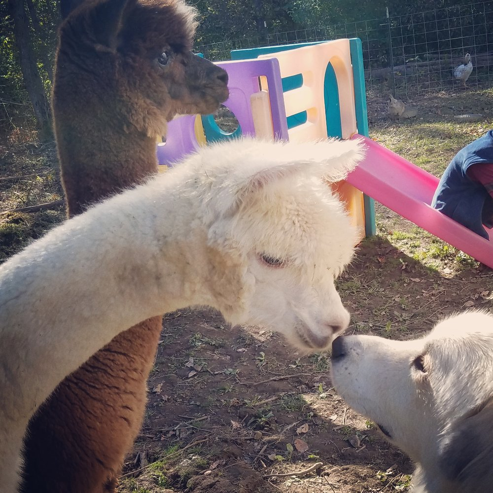 Meeting his alpacas for the first time. good boy!