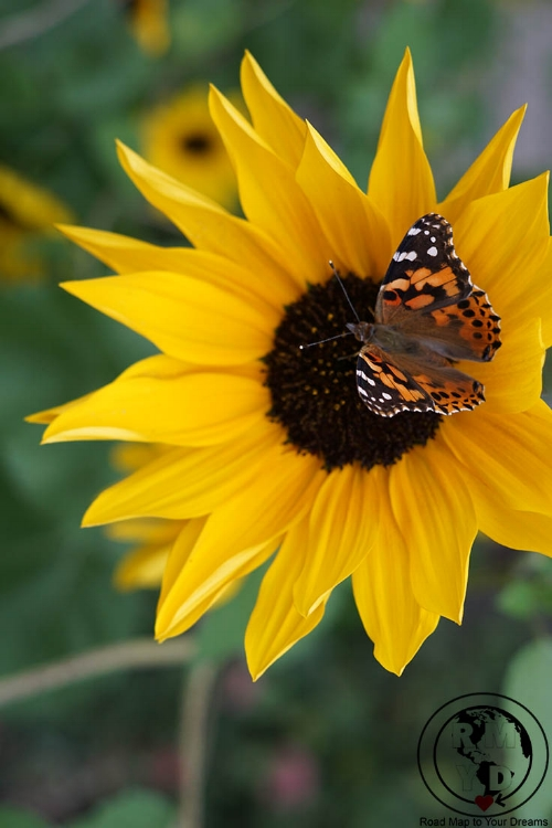 sunflower-butterfly.jpg