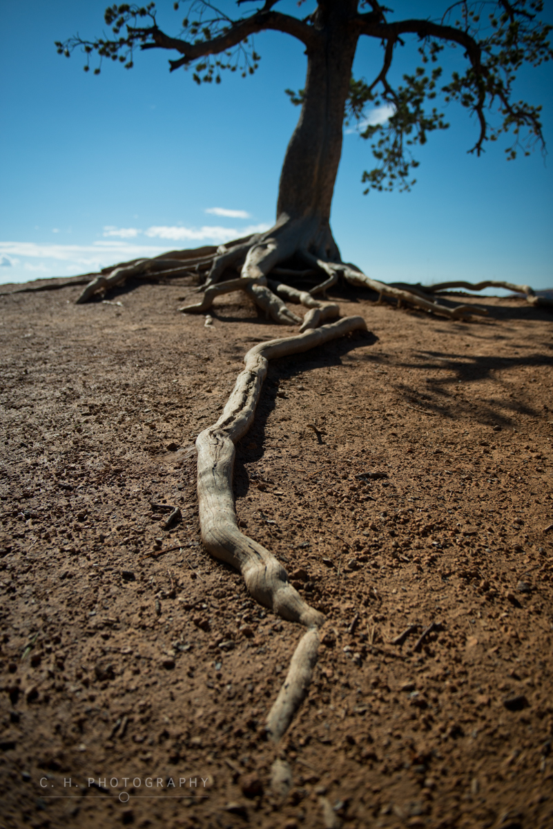 Long Tree Root - Bryce Canyon National Park, USA