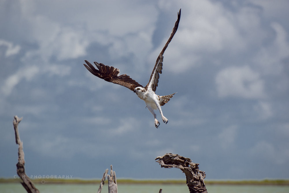 Osprey Taking Flight - Sian-Ka'an, Mexico