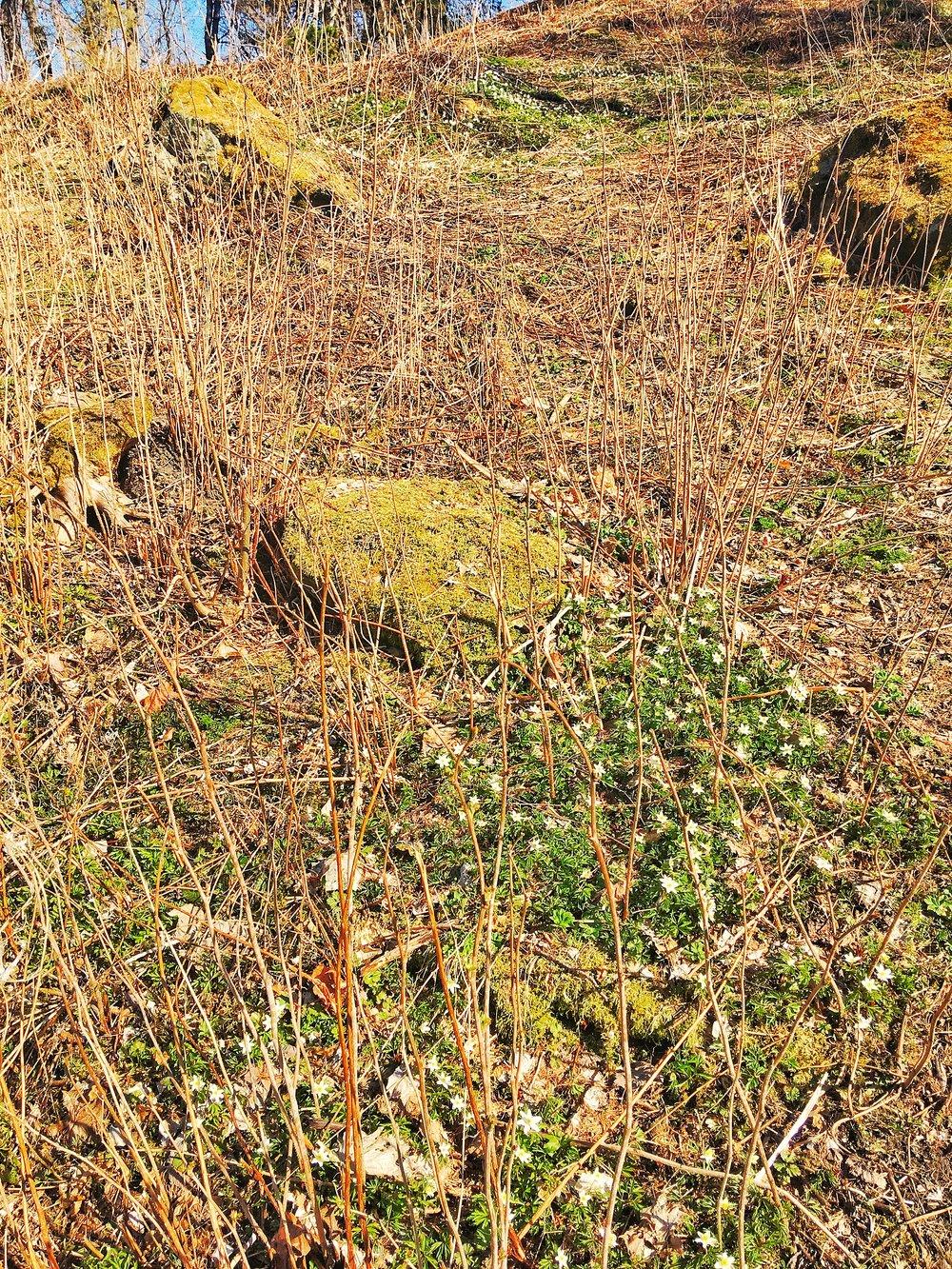 anemoner i norsk skovbund julieagblog