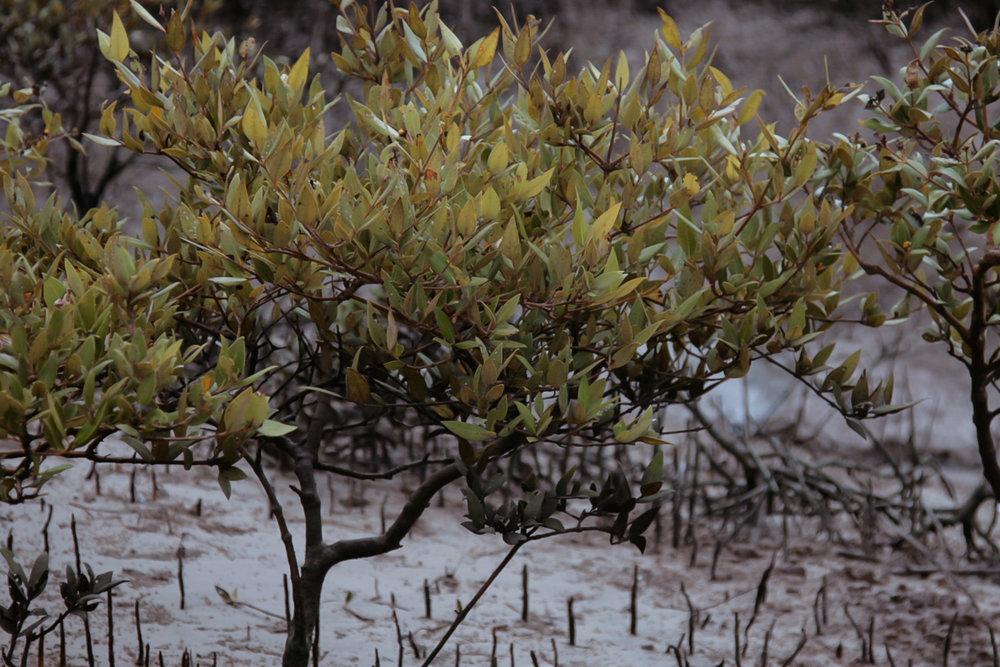 2012-06-mangrove-plantations-binqasim.jpg