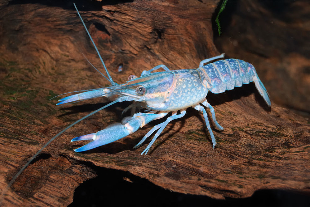 Chitin is found in lobster claws - it's tough