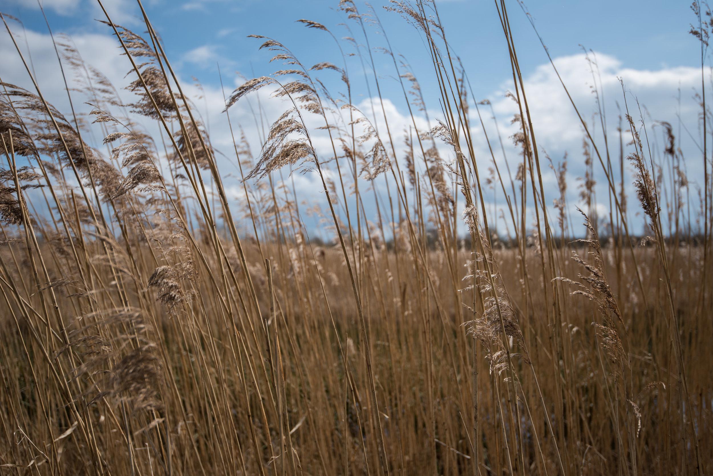 Wheat-1541