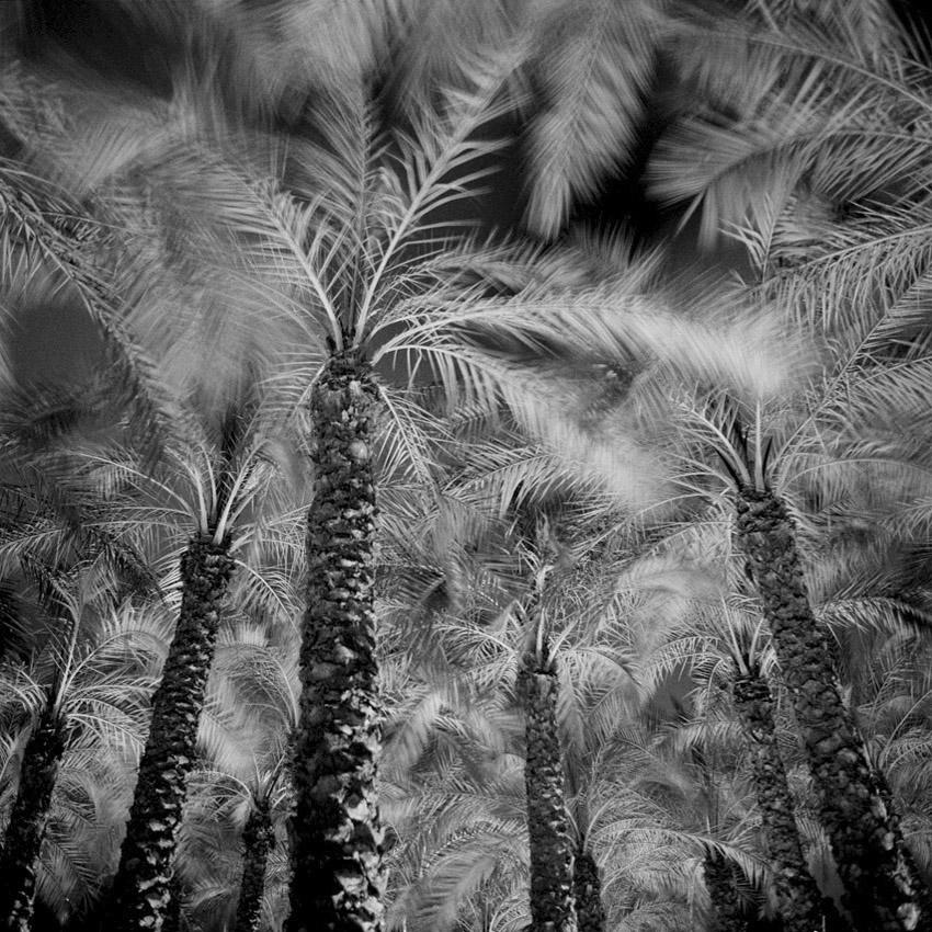 Plantation décorative de palmiers en espace vert à Jerusalem