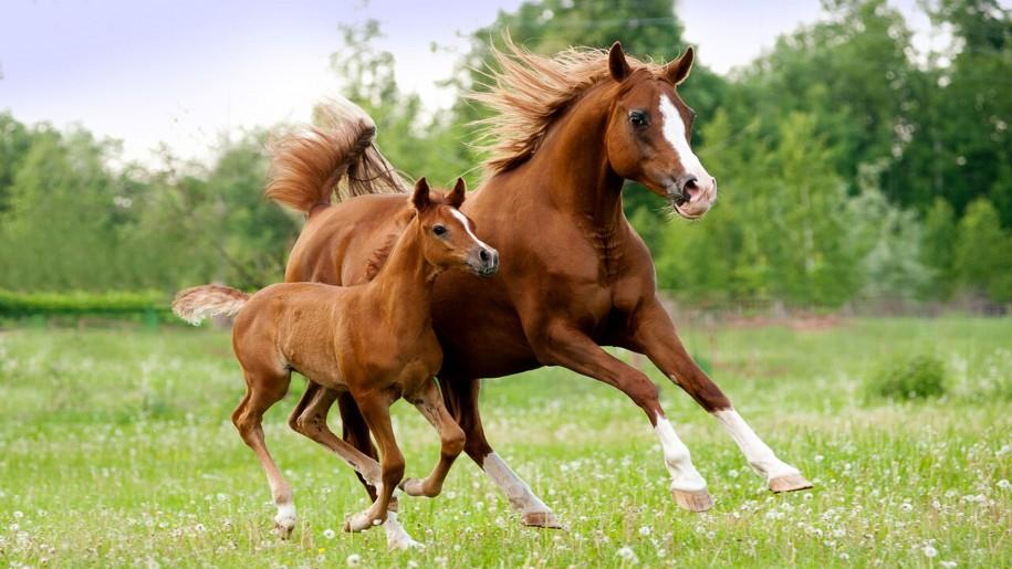 Arabian-mare-and-foal-Beautiful-HD-Wallpaper-High-resolution-3840X2400-915x515.jpg