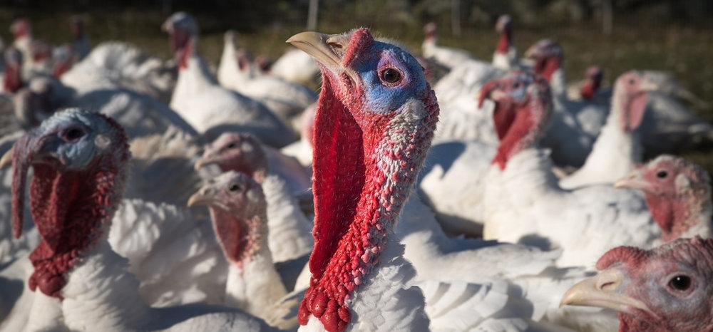 turkeys3.jpg